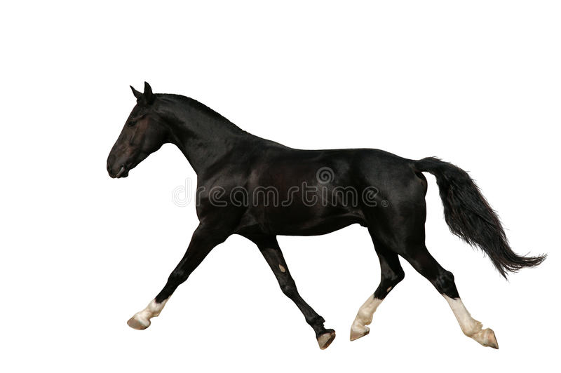Raven Trotter Isolated Royalty Free Stock Image