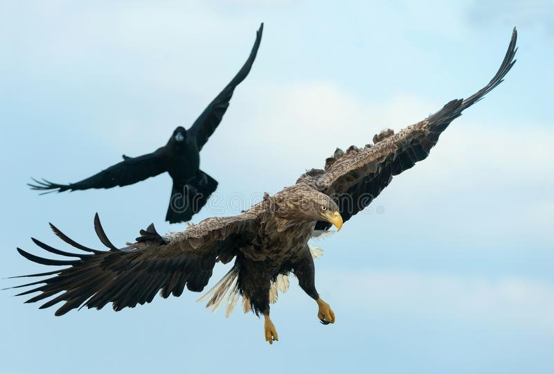 Raven and White tailed eagle in flight. royalty free stock photo
