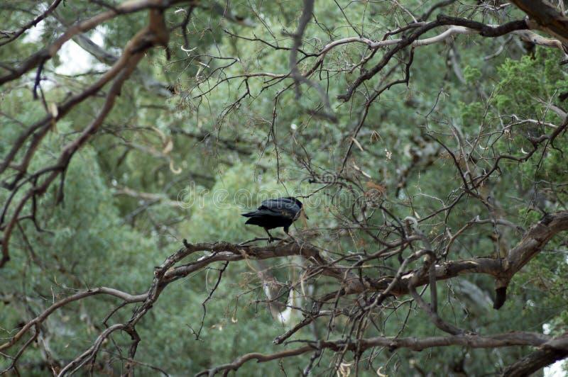 Raven, Wilpena Pound, Flinders Ranges, SA, Australia. Raven in tree, Wilpena Pound, Flinders Ranges, South Australia, Australia royalty free stock image