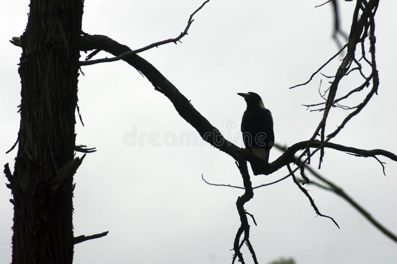 Raven, Wilpena Pound, Flinders Ranges, South Australia, Australia. Raven on branch, Wilpena Pound, Flinders Ranges, South Australia, Australia stock photography