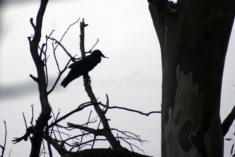 Raven, Wilpena Pound, Flinders Ranges, South Australia, Australia. Raven on dead branch, Wilpena Pound, Flinders Ranges, South Australia, Australia stock photos