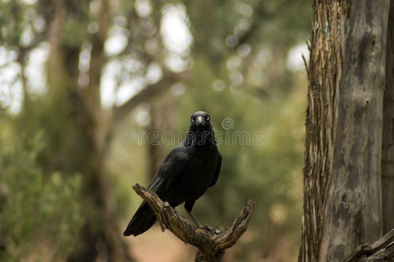 Raven, Wilpena Pound, Flinders Ranges, South Australia, Australia. Raven in a dead tree, Wilpena Pound, Flinders Ranges, South Australia, Australia stock photo