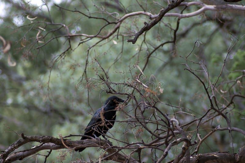 Raven, Wilpena Pound, Flinders Ranges, South Australia, Australia. Raven in tree, Wilpena Pound, Flinders Ranges, South Australia, Australia royalty free stock photos