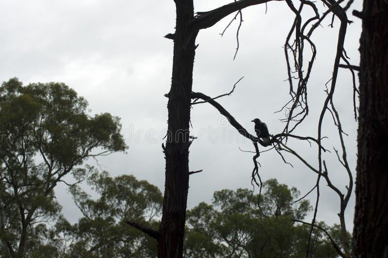 Raven, Wilpena Pound, Flinders Ranges, South Australia, Australia. Raven in tree, Wilpena Pound, Flinders Ranges, South Australia, Australia stock photos