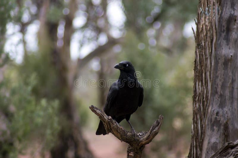 Raven, Wilpena Pound, Flinders Ranges, South Australia, Australia. Raven in a dead tree, Wilpena Pound, Flinders Ranges, South Australia, Australia stock photos