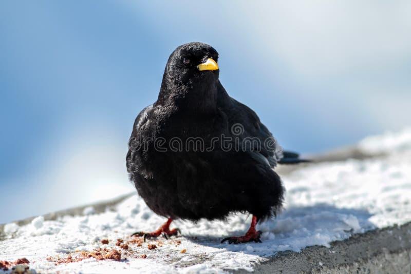 raven wysokog?rski obrazy royalty free