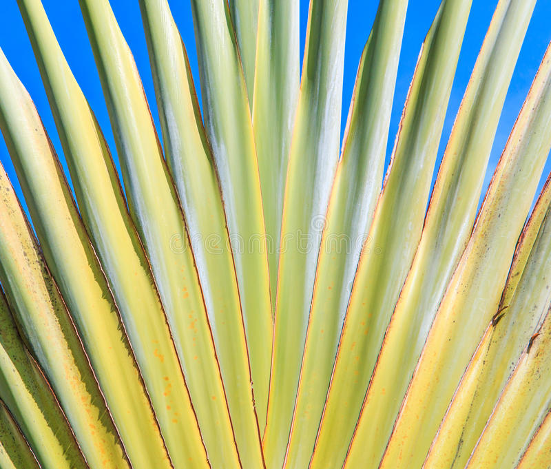 Ravenala madagascariensis或旅行家的棕榈 免版税图库摄影