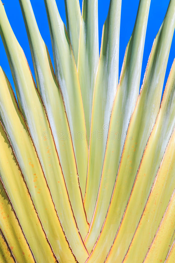 Ravenala madagascariensis或旅行家的棕榈 免版税库存照片