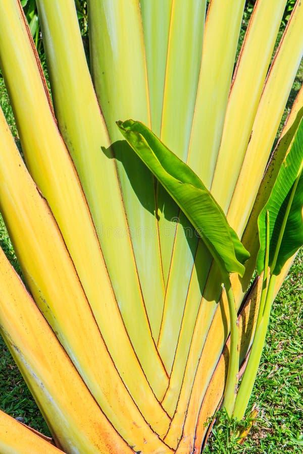 Ravenala madagascariensis或旅行家的棕榈 库存照片