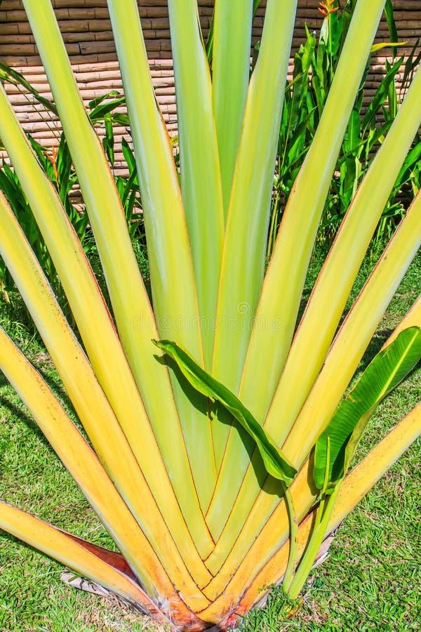 Ravenala madagascariensis或旅行家的棕榈 免版税库存图片