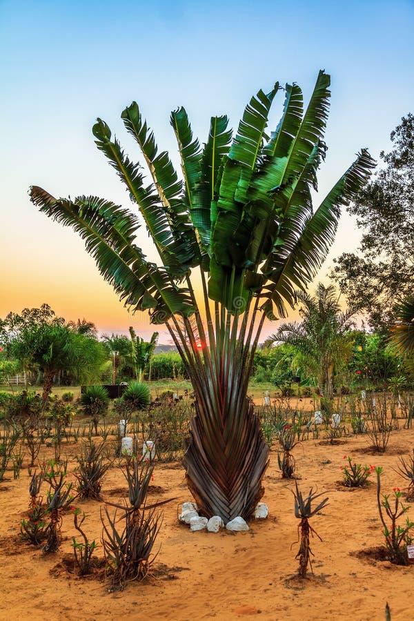 Free Ravenala Madagascariensis Royalty Free Stock Image - 48902836