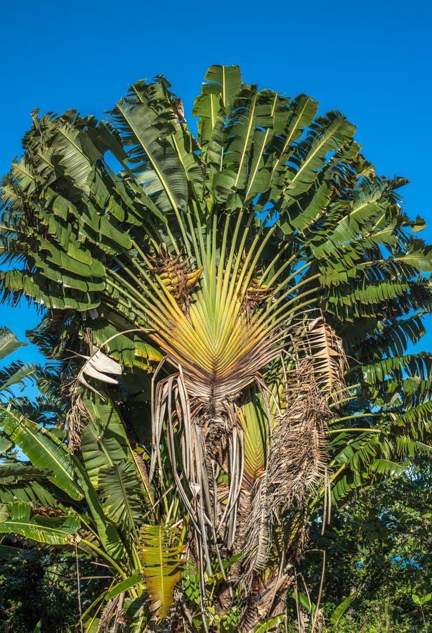Free Ravenala Or Travellers Tree, Madagascar Royalty Free Stock Images - 48066819