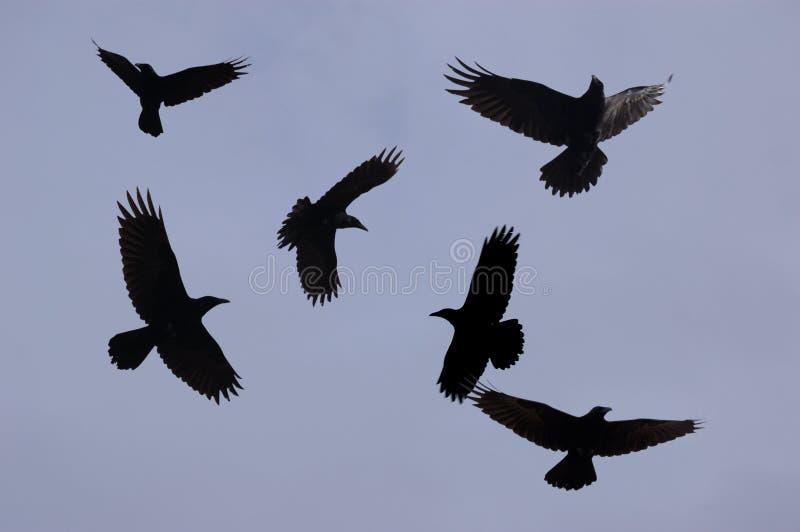 Ravens. Six ravens in flight overhead