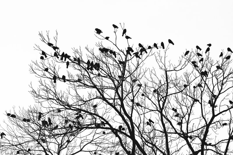 Ravens image stock