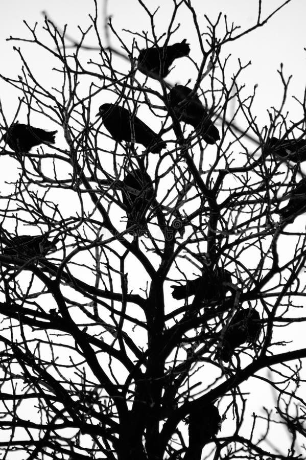 ravens arkivfoton