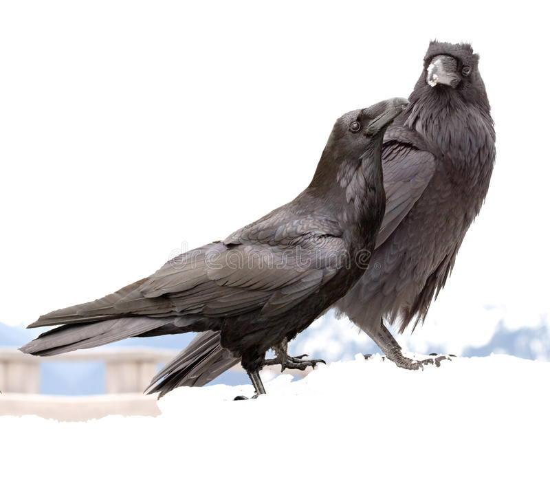 Download Ravens stock photo. Image of raven, mate, pair, bird, romance - 9826928
