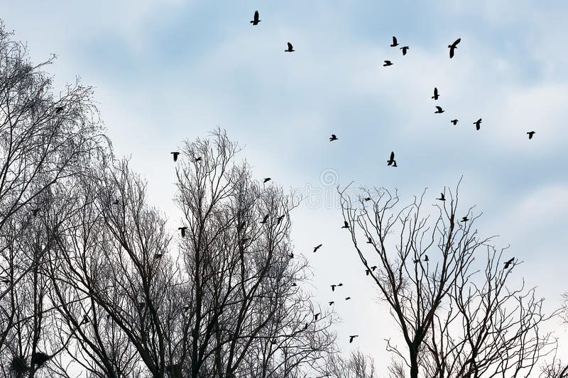 Ravens and crows among the bare trees stock images