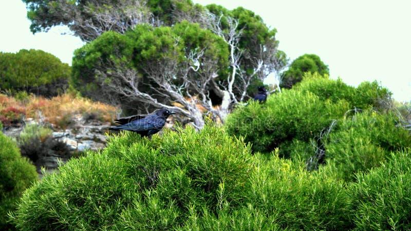Ravens On Rottnest by the salt lakes stock photo