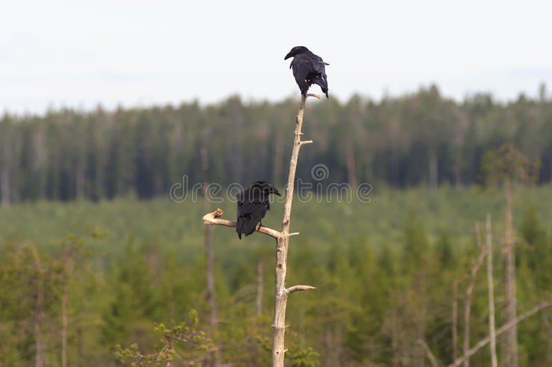 Ravens In Tree Top Stock Photography