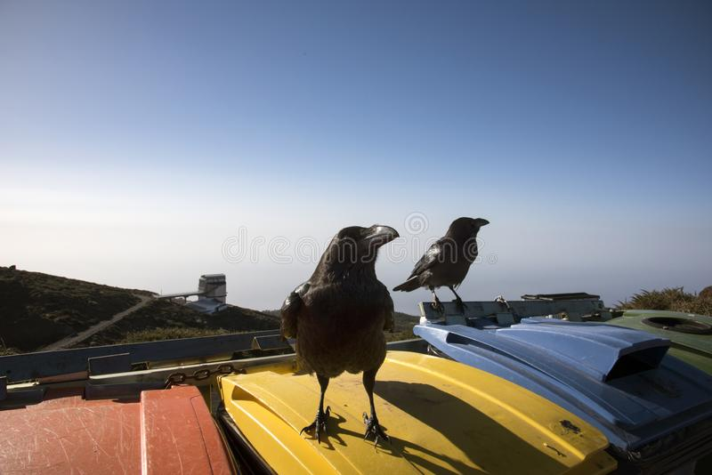 Ravens watch the tourists to see if you have food. On the highest top of La Gomera royalty free stock images