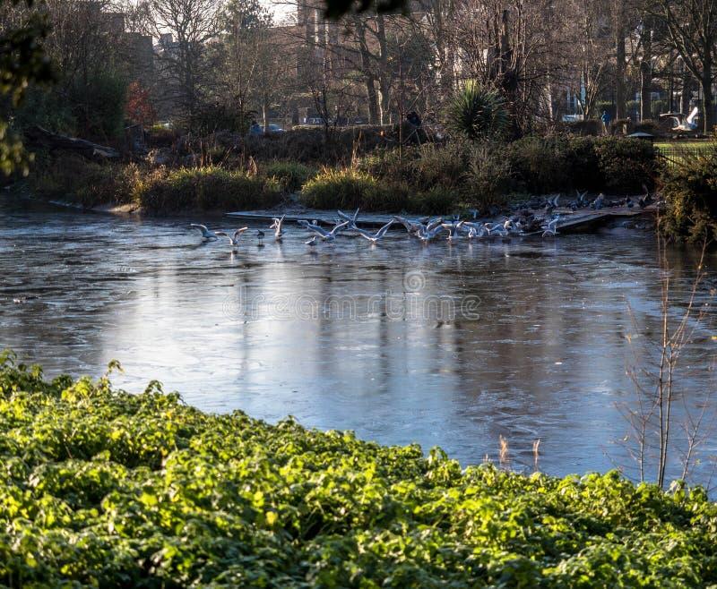 Birds flocking over a pond at sunrise. Ravenscourt Park, London. Pond in splendour, early winter, flowers and birds stock photo