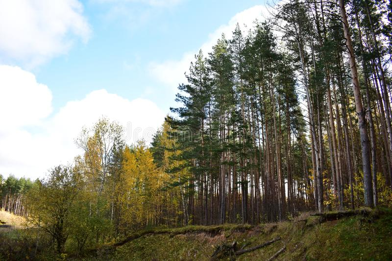 Ravine pine forest birch grove on a high slope, the roots of trees, the sky. Clouds royalty free stock photography