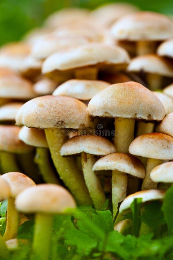 Free Raw Agaric Honey Edible Mushrooms Stock Photography - 16526622