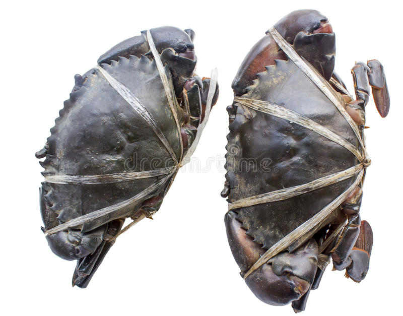 Raw black crab. Tied with plastic-ropes on white background stock image