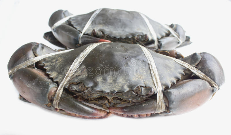 Raw black crab. Tied with plastic-ropes on white background stock photography