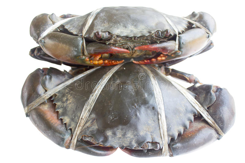 Raw black crab. Tied with plastic-ropes on white background royalty free stock images