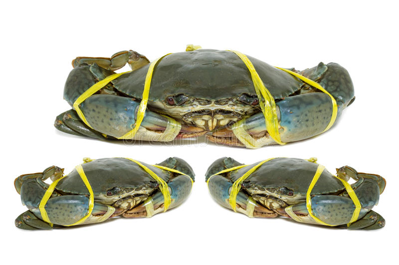 Raw black crab tied with rope yellow on white background. Raw black crab tied with rope yellow royalty free stock image
