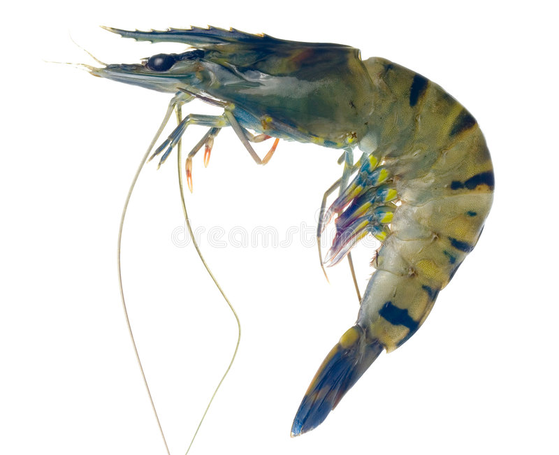 Raw black tiger prawn. Isolated on white background