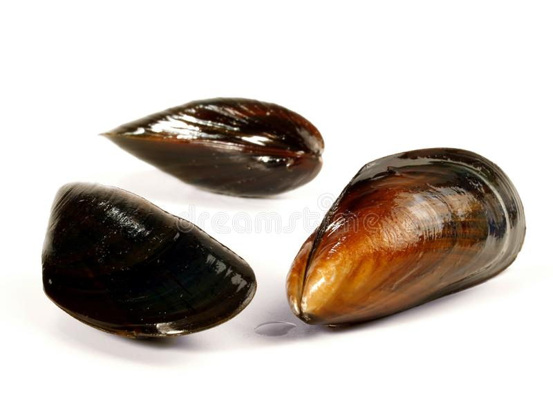 Raw Blue Mussel stock photo