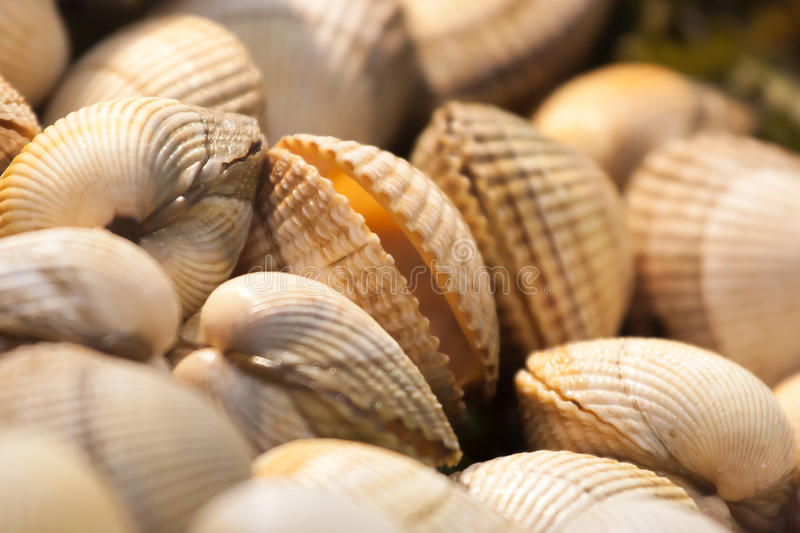 Raw clams royalty free stock photo