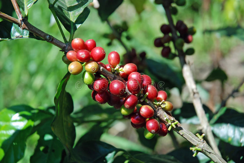 Raw coffee beans to coffee plant. Red and green berries, indonesia royalty free stock photography