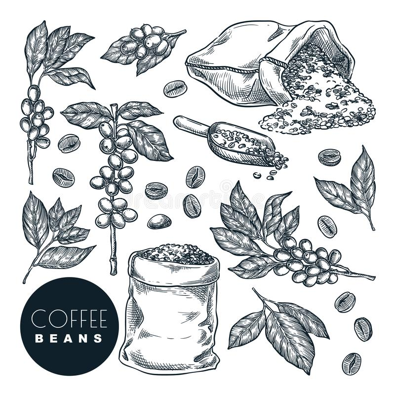 Raw coffee crop. Vector sketch illustration. Coffee berries on branch and beans in sack, isolated on white background stock illustration