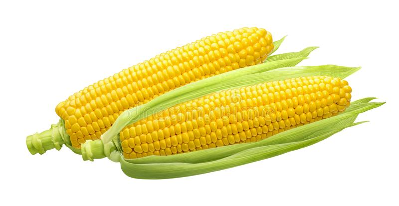 2 raw ears of corn isolated on white stock photography