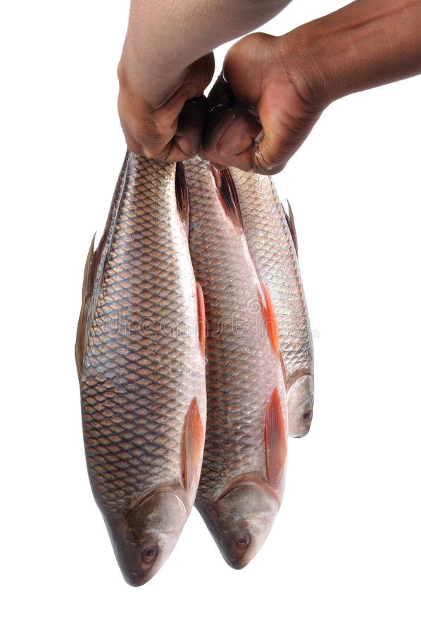 Raw fishes royalty free stock photo
