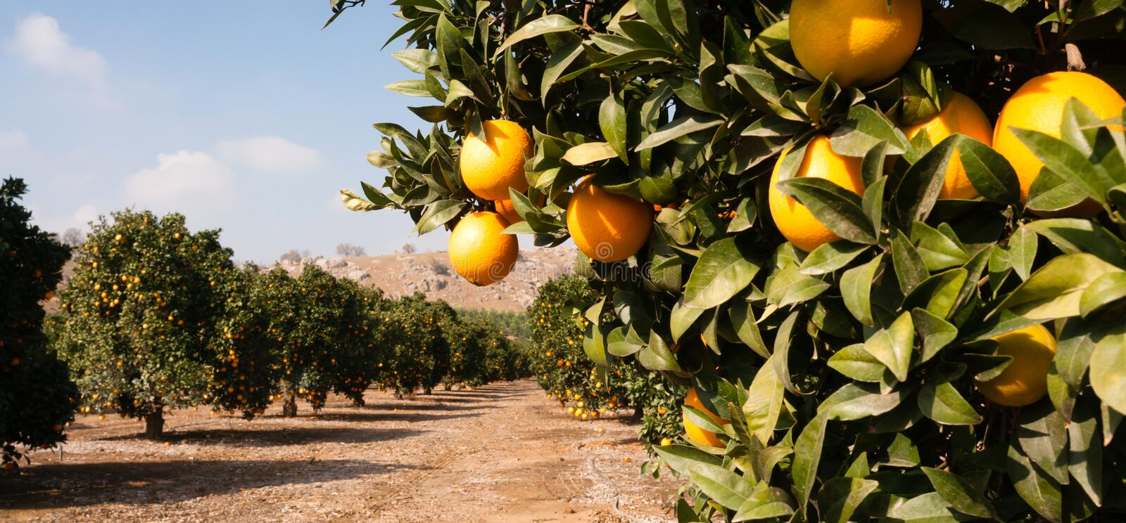 Raw Food Fruit Oranges Ripening Agriculture Farm Orange Grove. Good sun is one of the keys to a productive orange grove royalty free stock photo