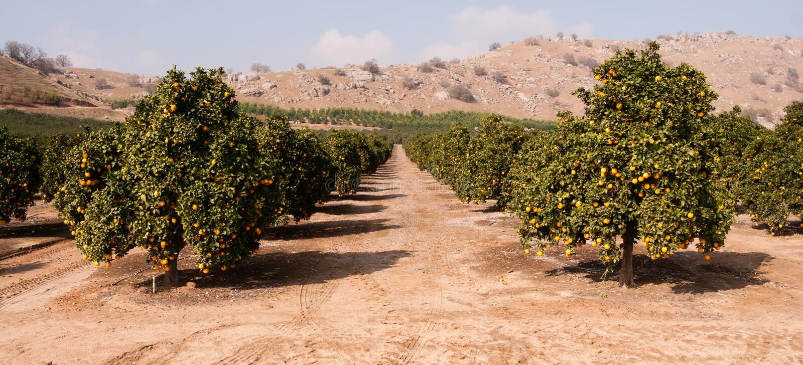 Raw Food Fruit Oranges Ripening Agriculture Farm Orange Grove. Good sun is one of the keys to a productive orange grove royalty free stock image