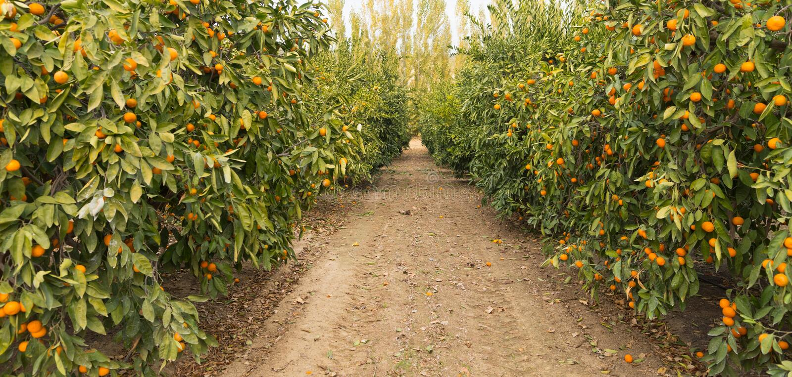 Raw Food Fruit Oranges Ripening Agriculture Farm Orange Grove. Looking down the path between trees in a productive orange grove stock image