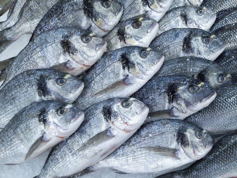 Raw fresh gilt-head bream fish on mediterranean market counter. Many fish Dorado. Close-up raw fresh sea bream fish on ice in. Market store. Dorado fish royalty free stock photography