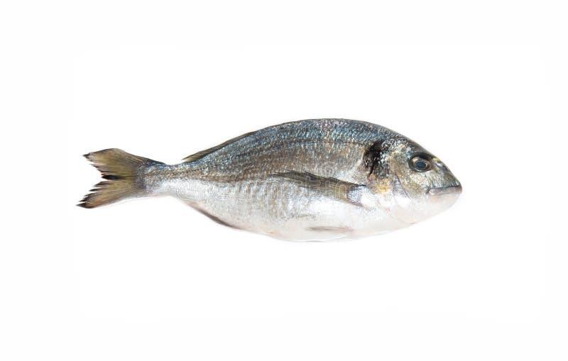 Raw fresh one dorado fish. Raw fresh one dorado fish on the white table stock photo