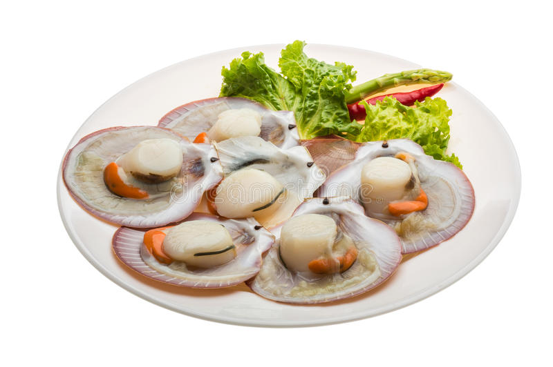 Raw fresh scallop. Ready for cooking royalty free stock photography