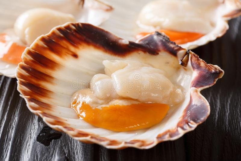 Raw fresh scallop in shell macro on a black table. vertical. Raw fresh scallop in shell close-up on a black table. vertical royalty free stock images