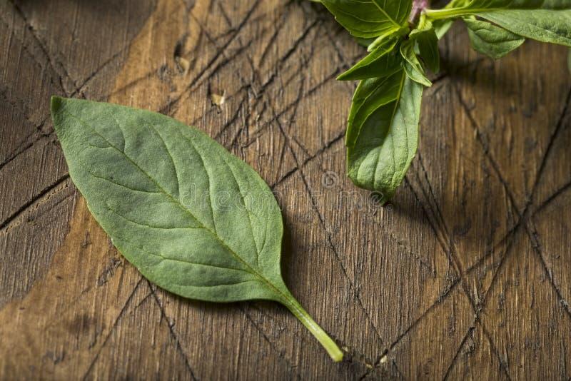 Raw Green Organic Thai Basil. Ready to Chop royalty free stock photos