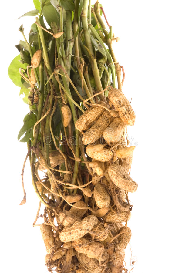 Download Raw Groundnuts Isolated stock photo. Image of closeup - 6391038