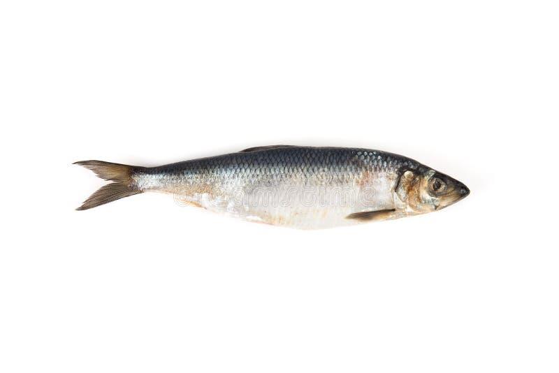 Raw herring isolated. On white background. Fish isolated royalty free stock images