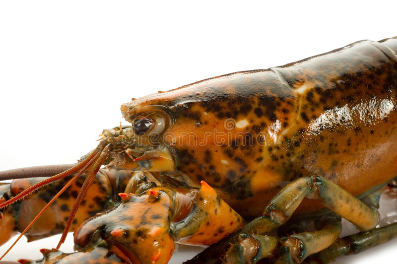 Download Raw lobster stock photo. Image of cook, crayfish, bearnaise - 15876624