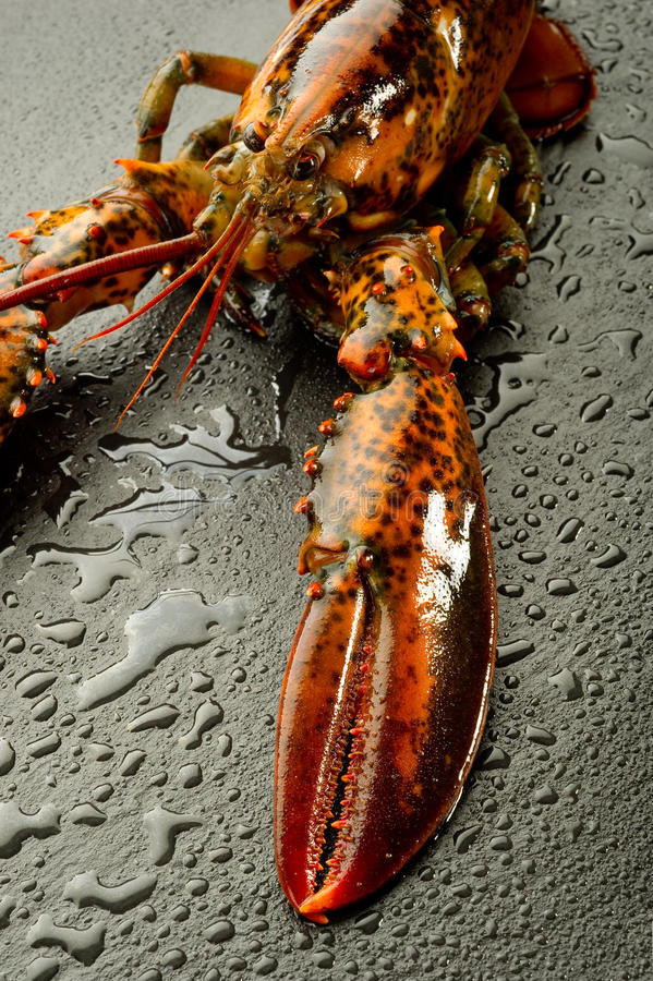 Download Raw lobster stock photo. Image of eating, large, healthy - 15876798